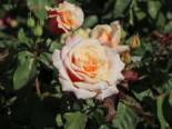 Strauchrose 'Caramella' ®, Rosa 'Caramella' ®, Containerware