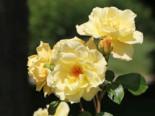 Strauchrose 'Emil Nolde' ® - Rose, Rosa 'Emil Nolde' ® - Rose, Containerware
