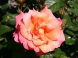 Strauchrose 'Freisinger Morgenröte' ®, Rosa 'Freisinger Morgenröte' ®, Wurzelware