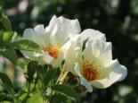 Strauchrose 'Golden Wings', Rosa 'Golden Wings', Wurzelware