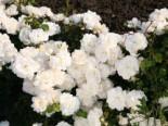 Bodendecker-Rose 'Kastelruther Spatzen', Stamm 60 cm, Rosa 'Kastelruther Spatzen', Stämmchen