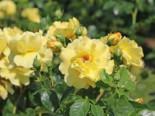 Strauchrose 'Lichtkönigin Lucia' ®, Rosa 'Lichtkönigin Lucia' ®, Wurzelware