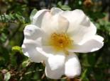 Strauchrose 'Nevada', Rosa 'Nevada', Wurzelware
