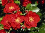 Strauchrose 'Paprika' ®, Rosa 'Paprika' ®, Containerware