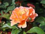 Strauchrose/Beetrose 'Arabia' ®, Rosa 'Arabia' ®, Wurzelware