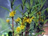 Straußblütiger Gilbweiderich, Lysimachia thyrsiflora, Topfware