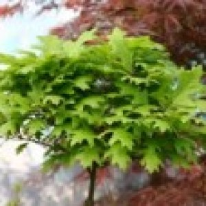 Sumpf-Eiche 'Green Dwarf', 30-40 cm, Quercus palustris 'Green Dwarf', Containerware