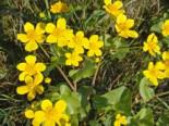 Sumpfdotterblume, Caltha palustris, Topfware