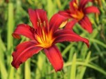Taglilie 'Crimson Pirate', Hemerocallis x cultorum 'Crimson Pirate', Topfware
