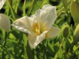 Taglilie 'Gentle Shepherd', Hemerocallis x cultorum 'Gentle Shepherd', Topfware