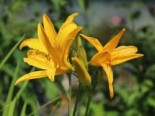 Taglilie 'Golden Scepter', Hemerocallis x cultorum 'Golden Scepter', Topfware
