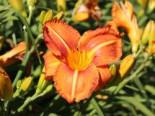 Taglilie 'Tuscawilla Tigress', Hemerocallis x cultorum 'Tuscawilla Tigress', Topfware