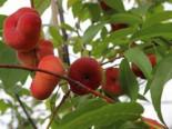 Tellerpfirsich 'Saturne', Stamm 40-60 cm, 140-160 cm, Prunus persica 'Saturne', Wurzelware