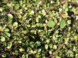 Teppich-Drahtstrauch, Muehlenbeckia axillaris, Topfware