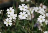 Teppich Schleierkraut, Gypsophila repens, Topfware