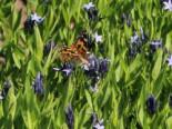 Texas-Blaustern / Amsonie / Röhrenstern 'Blue Ice', Amsonia tabernaemontana 'Blue Ice', Topfware