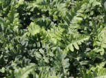 Tüpfelfarn, Polypodium vulgare, Topfware