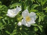 Weiße Apfelrose 'Alba' /- Kartoffelrose /- Hagebutte, 30-40 cm, Rosa rugosa 'Alba', Wurzelware