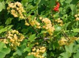 Weiße Johannisbeere 'Werdavia', 30-40 cm, Ribes rubrum 'Werdavia', Containerware