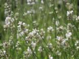 Weißer Lavendel 'Alba', Lavandula angustifolia 'Alba', Topfware