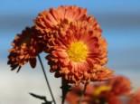 Winteraster 'Bronzekrone', Chrysanthemum x hortorum 'Bronzekrone', Topfware