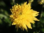 Winteraster 'Citronella', Chrysanthemum x hortorum 'Citronella', Topfware