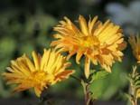 Winteraster 'Für Eliese', Chrysanthemum x hortorum 'Für Elise', Topfware