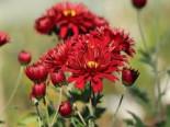 Winteraster 'Oktoberpracht', Chrysanthemum x hortorum 'Oktoberpracht', Topfware