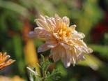 Winteraster 'Scherzo', Chrysanthemum x hortorum 'Scherzo', Topfware