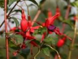 Scharlach-Fuchsie / Winterharte Fuchsie 'Riccartonii', Fuchsia magellanica 'Riccartonii', Containerware