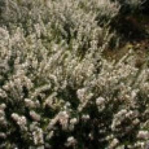 Winterblühende Heide 'White Perfection' / 'Isabell', 15-20 cm, Erica x darleyensis 'White Perfection' / 'Isabell', Topfware
