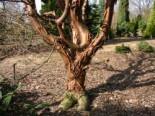 Zimtahorn, 80-100 cm, Acer griseum, Containerware