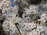 Zwerg-Mirabelle, Stamm 30 cm, 50-80 cm, Prunus domestica (Zwergform), Containerware