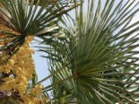 Zwergpalme, 60-80 cm, Chamaerops humilis, Containerware