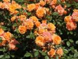 Zwergrose 'Apricot Clementine' ®, Stamm 60 cm, Rosa 'Apricot Clementine' ®, Stämmchen