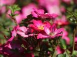 Zwergrose / Bodendeckerrose 'Lupo' ®, Rosa 'Lupo' ® ADR-Rose, Containerware
