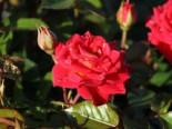 Zwergrose 'Chili Clementine' ®, Rosa 'Chili Clementine' ®, Wurzelware