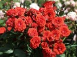Zwergrose 'Orange Babyflor ®', Rosa 'Orange Babyflor ®', Containerware