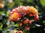 Zwergrose 'Tropical Clementine' ®, Stamm 60 cm, Rosa 'Tropical Clementine' ®, Stämmchen