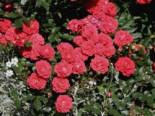 Zwergrose 'Zwergenfee 09' ®, Rosa 'Zwergenfee 09' ®, Wurzelware