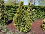 Zypresse 'Erecta Aurea', 30-40 cm, Chamaecyparis lawsoniana 'Erecta Aurea', Containerware