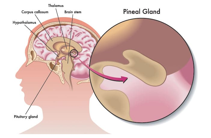 Image result for pineal gland diagram