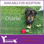 CHARLIE 4 YRS BLACK TAN MALE DOB 09/12/15