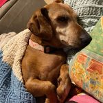 DAISY - RED SMOOTH FEMALE - APPROX 6 YRS 7.5KG