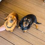 Jerry - Red - Mini Male - 5yrs -16/01/16 TED Black/Tan - Mini Male - 6 yrs - 23/05/15 BONDED PAIR *GOING ON A 2 WEEK TRIAL 15/06/21* APPLICATIONS CLOSED