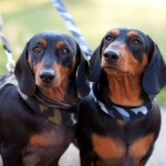 LICORICE & TINEE - 2 YR OLD SIBLING BROTHERS - BLACK AND TAN SMOOTH MINIATURES - DOB 11/06/19 *on 2 week trial*