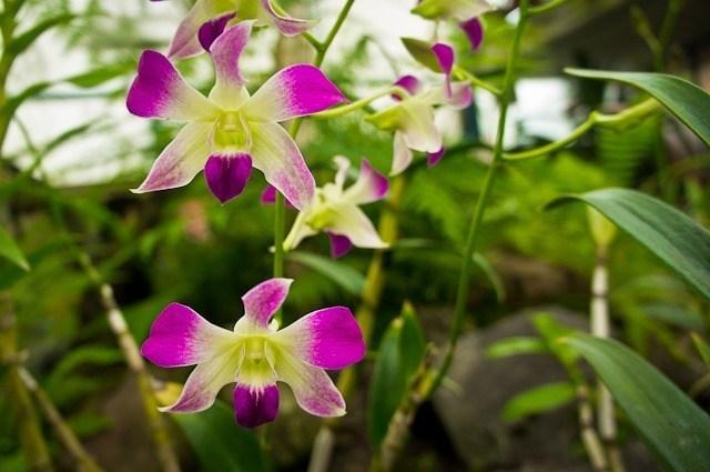 orchidee Quito Equateur