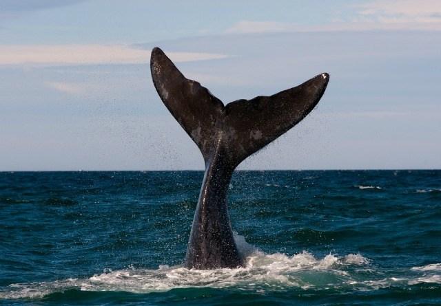Baleine dans la Péninsule de Valdez