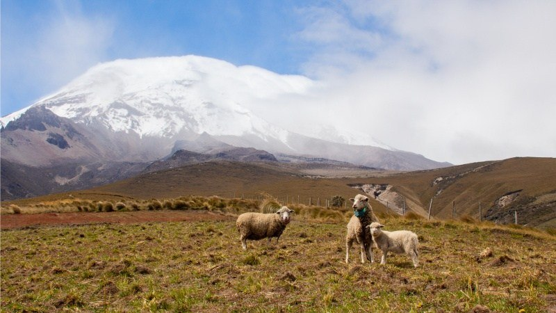 3 moutons au volcan de Chimborazo