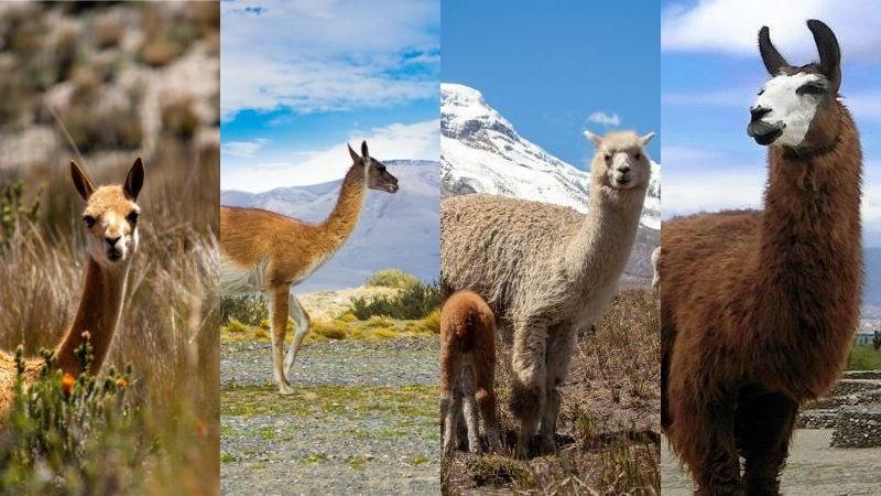 différences lama, alpaga, guanaco et vigogne. Crédits photo de droite : flickr